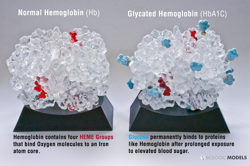 Biologic models hemoglobin