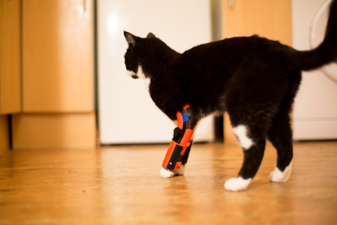 Sprocket the cat wearing a 3D printed orthosis